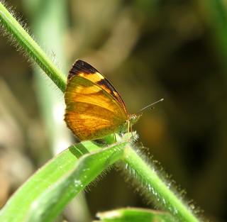 Tegosa Claudina, Black-bordered Tegosa , Tegosa anieta