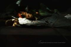 Feuilles (+ Groupe DOUCEUR + ABCédaire) Tags: feuilles flickr flickrelitegroup flickrelite nikon nikoneurope naturebynikon nature nikonpassion lumière low key