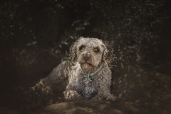 Neptuno (Alessandra Favetto Photography) Tags: dog dogs dogphotography dogphotographer dogportrait spanishwaterdog perrodeaguaespañol perrodeagua pet petphotography petphotographer outdoors color
