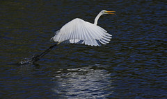 Great Egret : Taking off . . . (Clement Tang **bbbusy**) Tags: travel greategret ardeaalba nature concordians closetonature closeup macrophotography takeoff grandemaregroup australia avian autumn morning wildlife westgatepark freshwaterlake waterreflection landscape aquaticbird