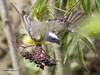 Social Flycatcher (Myiozetetes similis) (Gmo_CR) Tags: myiozetetessimilis socialflycatcher mosquerocejiblanco pechoamarillo costarica coronado patiodeagua