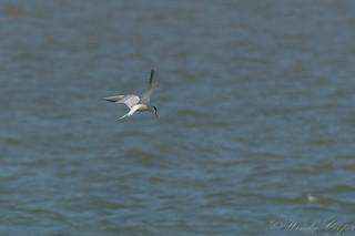 Common Tern-2986