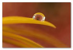 Drop (denzthomas) Tags: tropfen drops gerbera wassertropfen refraktion dripsdropsandsplashes macromondays