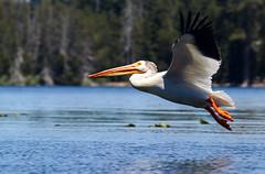 2017-06 Stephen Payne-81.jpg (Stephen_Payne) Tags: birds pelicans lakeofthewoods oregon othertags places lakes