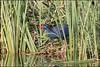Talève sultane (Porphyrio porphyrio) (Laurent Cornu) Tags: 2017 aves birds bleu espagne gruiformes oiseaux porphyrioporphyrio purpleswamphen rallidae rallidés roselière saucedilla talèvesultane vacances eau oiseau 7dii canon500f4 multiplicateur14