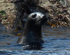 Seal (Robert & Pamela) Tags: seal water island wildlife scotland highlands