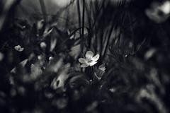 (amy buxton) Tags: amybuxton nature natural stlouis botanical spring plants anemone
