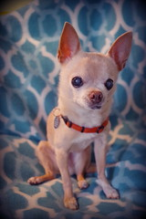 happy birthday floyd! (EllenJo) Tags: birthdaydogs happybirthday pets dog pet ellenjo pentaxk1 june2017 floyd bornin2003 bornjune29 chihuahua elderly age14 olddog old ellenjoroberts