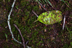 IMG_0028 Freckled (oldimageshoppe) Tags: leaf freckled wet thunderstorm moss green ortoneffect spring