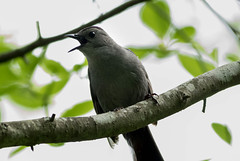 Catbird (johnny4eyes1) Tags: catbird birds bayardcuttingarboretum nature