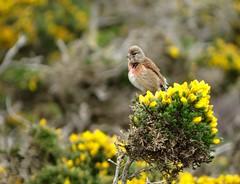Linnets! (m) (rockwolf) Tags: linnet linariacannabina linottemélodieuse oiseau bird gorse singing capdelachèvre finistère bretagne brittany france 2017 rockwolf