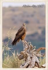 MILANO NEGRO (Milvus migrans) (JORGE AMAYA BUSTAMANTE - JAKKEMATE) Tags: jakkemate nikon d500 sigma 150500 jorge amaya bustamante milano negro milvus migrans aves rapaces ibericas fauna iberica