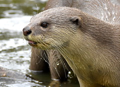 Wet whiskers. (pstone646) Tags: otter animal closeup portrait mammal water fauna nature wildlife
