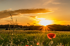 Poppy Sunset (ianbonnell) Tags: poppies poppy rainford merseyside sthelens england sunset