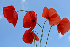 Composed by the wind (misi212) Tags: poppies wind blue sky