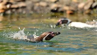 Penguin @Wildlands