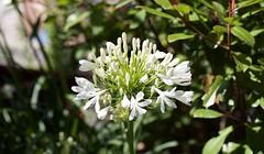 Snow Princess (collinrichards32) Tags: agapanthus whiteagapanthus lily snowprincess