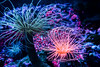 Morning in the anemone forest (FotoFloridian) Tags: underwater sea nature reef animal sealife tentacle seaanemone cnidarian multicolored softcoral wildlife tropicalclimate blue coral red water pacificocean life sony alpha a6000