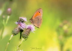Its a small world. (rudi.verschoren) Tags: meadow brown bruin zandoogje butterfly thistle landscape canon 70d colors mood nature outdoor insects summer macro eos europe europa flanders belgium
