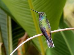 IMG_7118 White-tailed Hillstar (suebmtl) Tags: bird birding hummingbird ecuador sanisidro napoprovince