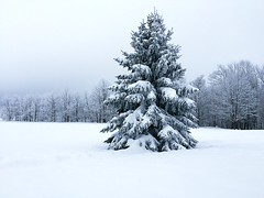 Wintry (SkyeHar) Tags: tree winter snow spruce evergreen woods trees seasons landscape nature peaceful