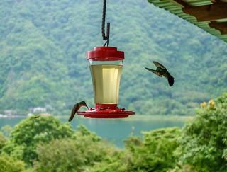 Hummingbirds in Guatemala
