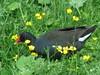 gallinula chloropus (ze_da_binha) Tags: aves birds ave bird galinhadeágua galinha commonmoorhen moorhen gallinulachloropus gallinula chloropus rallidae castleespie irlandadonorte irlanda northenireland ireland binha zedabinha