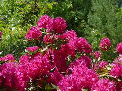 I'm sorry to have been off for so long.  I had a bad flare that affected my eyes and this week Jim is on vacation. (lovesdahlias 1) Tags: rhododendrons nova zembla flowers blossoms gardens nature summer newengland