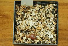 1er juillet 2017 - Conophytum pellucidum AJY1018, 222 jours (Mafate79) Tags: 2017 conophytumpellucidumajy1018 aizoaceae aizoacées aizoacée mesemb mesembryanthemaceae mesembryanthemacées mesembryanthemacée plante semis s16054