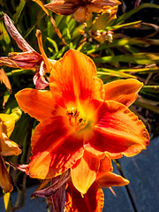 Tiger Lily HDR (randyherring) Tags: ca morning flora tigerlily nature flower outdoor neighborhood beauty bloom elkgrove california suburban unitedstates us