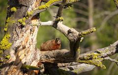 MY TREE (scepdoll) Tags: grandtetonnationalpark marmot jackson wyoming wildlife summer rodent findyourpark deadtree pilgrimcreek