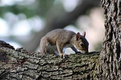 cute squirrel (andrewdickinson3) Tags: florida miami tree southflorida squirrel animal nature wildlife photo brown flickr love beauty