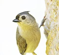 """Got a nut?"" (dina j) Tags: floridawildlife floridabird florida bird wildlife titmouse tuftedtitmouse songbird chesnutpark"