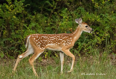 Early morning fawn (Lindell Dillon) Tags: fawn whitetail deer nature wildlife oklahoma lindelldillon crosstimbers