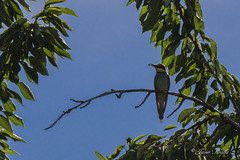 desayunando al sol... (Javier Arcilla) Tags: hdr aves pajaros arboles ramas cielo azul sol airelibre insectos pentax pentaxk70 k70 pentax50200mm 50200mm ponferrada el bierzo leon castillayleon españa