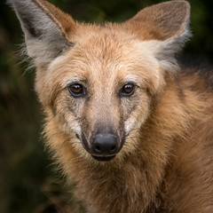 Being Bold (helenehoffman) Tags: canid wildlife conservationstatusnearthreatened manedwolf sandiegozoo southamerica nature mammal animal coth
