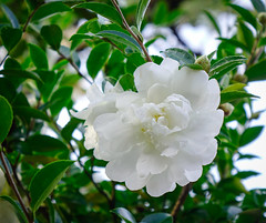 White Camellia flowers blooming at garden (phuong.sg@gmail.com) Tags: aromatic attractive background beautiful beauty bloom blossom botanic botanical botany bright camellia closeup colorful delicate detail ecology environment flavor flora flower fragrance fresh garden gardening gorgeous green growth herb image leaf natural nature outdoor park petal pink plant real season seasonal shot soft spring unique vibrant view vivid white winter