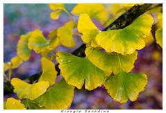 ginko-biloba (Giorgio Serodine) Tags: ginko ventagli foglie ramo albero autunno allaperto canon
