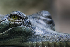 Croc (James Jacques) Tags: sony a7 70200mm fe f4 eyes wildlife nature reptile croc crocodile prague zoo