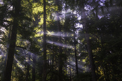 Glimmer of Smoke | Blue River, OR (Greg Mombert) Tags: tree trees forest woods smoke light ray glimmer beam streak morning sunbeam dawn daylight oregon willamette timber landscape nature pacific northwest sony a7