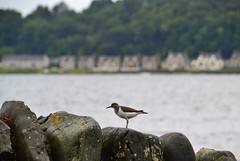 (Zak355) Tags: rothesay isleofbute bute scotland scottish wildlife bird oystercatcher