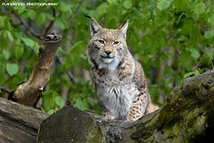 Eurasian lynx - Zoo Duisburg (Mandenno photography) Tags: dierenpark dierentuin dieren duitsland germany animal animals bigcat big cat eurasian lynx luchs zoo zooduisburg duisburg