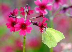 2nd Prize - Brimstone by Liam Richardson (BC HQ) Tags: bigbutterflycount butterflycount photographiccompetition photographic photograph competition butterflyconservation butterfly butterflies flower flowers winners brimstone