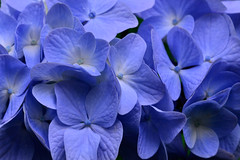 Blue for you (holdit.) Tags: plant shrub tree hydrangea