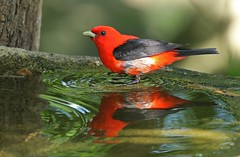 Scarlet Tanager and reflection (Thank you for 1.5 Million views) Tags: bird colorful red black july ipswich river wildlife sanctuary bath water