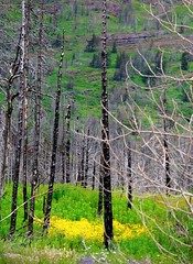 green & yellow (ekelly80) Tags: montana glaciernationalpark nationalparkservice nps june2017 keisgoesusa roadtrip optoutside findyourpark mountains rockymountains goingtothesunroad sunriftgorge view scenery charred fire burnt burned trees grass green wildflowers flowers yellow