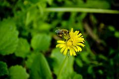 Bee&Dandelion (Jecika381) Tags: bee dandelion spring flowers depth field countryside