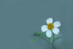 White Weed Flower (satochappy) Tags: flower white weeds small センダングサ