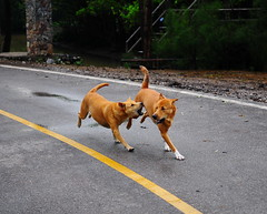 ,, No Running Allowed ,, (Jon in Thailand) Tags: walkingbridge mangroveswamp dog jungle k9 dogs k9s runningdogs playingdogs yellowline centerline nopassingzone mama rocky tails dogtails bigfun nikon d300 nikkor 175528 dogpaws paws green yellow dogears 2dogsrunning playing littledoglaughedstories