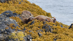 Otter (KHR Images) Tags: otter lutralutra male dog wild mammal mustelid mustelidae kelp seaweed isleofmull innerhebrides western scotland sunshine nikon d500 kevinrobson khrimages
